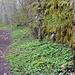 Rechts die übermoosten Reste der Burg Lägeren. Höchster Punkt der Tour.