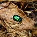 Auch schön: Grüner Käfer auf braunem Blatt