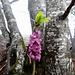 ein willkommener Farbtupf: Edler Seidelbast