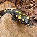 Salamandra sui sassi di granito rosso