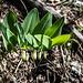 Echtes Salomonssiegel (Polygonatum odoratum)