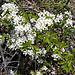 Auch Schwarzdorn (Prunus spinosa) blüht weiss