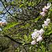 Zum krönenden Abschluss ein blühender Apfelbaum (Malus sylvestris)