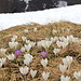 Selbst auf 2000m blühen die Krokusse