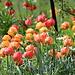 Wunderbarer Fühlingsgarten mit Tulpen und Kaiserkronen beim [http://www.gasthof-luzisteig.ch/ Landgasthof St. Luzisteig]<br />Der föhnige Wind zwingt die Tulpen in die andere Richtung zu schauen