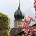 Die Kirche von Fläsch mir einer Japanischen Blütenkirsche