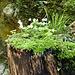 Garten auf Baumstrunk