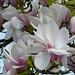 wunderschöne Magnolienblüten