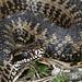 Die trüben Pupillen deuten wohl darauf hin, dass sich das Reptil bald häutet.