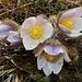 Die Anemonen trotzten dem Graupelschauer. Es ist Frühling!