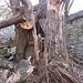 Dicke, zerfallende Kastanienbäume im Ovich<br />Foto von sh.