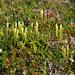 Tannenbärlapp und verblühte Bergheide (Lycopodium annotinum und Phyllodoce caerulea)