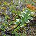 Rosenwurz (Rhodalia rosea)