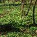 Bärlauch: phantastischer grüner Teppich