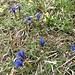 Frühlingsenziane die den Hagel erfolgreich überstanden haben.