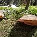 Baumschwämme auf einer umgestürzten Fichte.