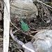 Ein interessanter Grün-Goldener Käfer - vielleicht ein [http://de.wikipedia.org/wiki/Gr%C3%BCnr%C3%BCssler Grünrüssler] ?<br />(leider unscharf, weil der viel zu flott war)