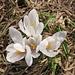 Frühling! Krokusse 1