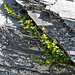 Blühende Berberitze in einer Felsspalte (Berberis vulgaris)