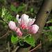 wilde Apfelbäume blühen besonders schön