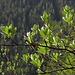 Mehlbeer-Baum