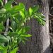 Salomonssiegel im schattigen Gebüsch