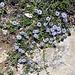 Auch die Kugelblumen blühen (Globularia cordifolia)