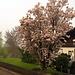 Ein Baum in voller Blüte, der Frühling ist da