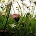 Keine Mararitenwiese sondern Gänseblümchen aus der Ameisenperspektive