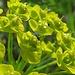 Esels-Wolfsmilch oder Scharfe Wolfsmilch (Euphorbia esula)