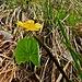 Schildblättriger Hahnenfuss (Ranunculus thora)