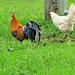 stolzer Han mit einer seiner Hennen