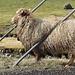 """Färöer (hier auf Vágar) - Es gibt: viele Schafe, wir sind schließlich auf den """"Schafsinseln"""". <br />Und wer selbst ab und zu einen Pullover aus Schafwolle trägt, kann erahnen, wie es sich anfühlt, ständig damit """"gekleidet"""" zu sein ;-). Da hilft nur eins: (Selbst-)Striegeln, und weil es quasi keine Bäume gibt, nimmt man eben auch mal die Metallstrebe am Straßenrand ..."""