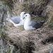 Eiðiskollur - Auf den kleinen Vorsprüngen der steilen Klippen sind unzählige Seevögel, zu beobachten. Hier sind Eissturmvögel zu sehen (danke, [u Alpenorni]).