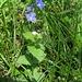 Veronica chamaedrys, Scrophulariaceae. Occhi della Madonna