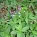 Lathyrus vernus, Fabaceae. Cicerchia primaticcia