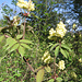 Sambucus racemosa, Caprifoliaceae. Sambuco comune