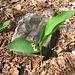 Convallaria majalis<br />Convallariaceae<br /><br />Mughetto
