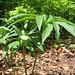 Helleborus viridis, Ranunculaceae. Elleboro verde