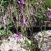 Gymnadenia conopsea,Orchidaceae. Manina rosea
