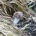 Ein Mauswiesel, glaube ich