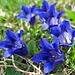 Blauer Enzian - endlich wieder zu bestaunen