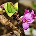 Winzige Blüte des Seidelbasts wenig unterhalb des Gipfels.