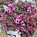 """Selbst auf 2700m ist der Frühling im wahrsten Sinne des Wortes """"ausgebrochen"""":  Steinbrech, Saxifraga oppositifolia"""