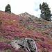 So viele blühenden Erikas wie auf der Alp da Munt habe ich noch nie gesehen. Es sieht aus, als ob ein rosaroter Teppich verlegt wurde!
