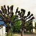 Gestutzte Ahonbäume schlagen aus