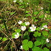 Blüten des Sauerklee