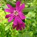 Blüte einer Taglichtenelke
