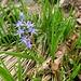 Zweiblättriger Blaustern (Scilla bifiolia)