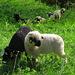 """SN-Schafe im """"Schlaraffenland"""", auf ganz  frischer  Frühlingsweide"""